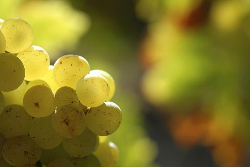 Wein, Muskateller und Wermut