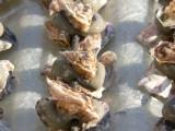 huitres collées réduit