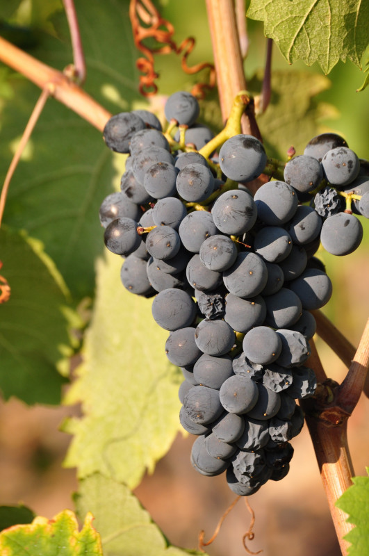 Mourvedre-2012