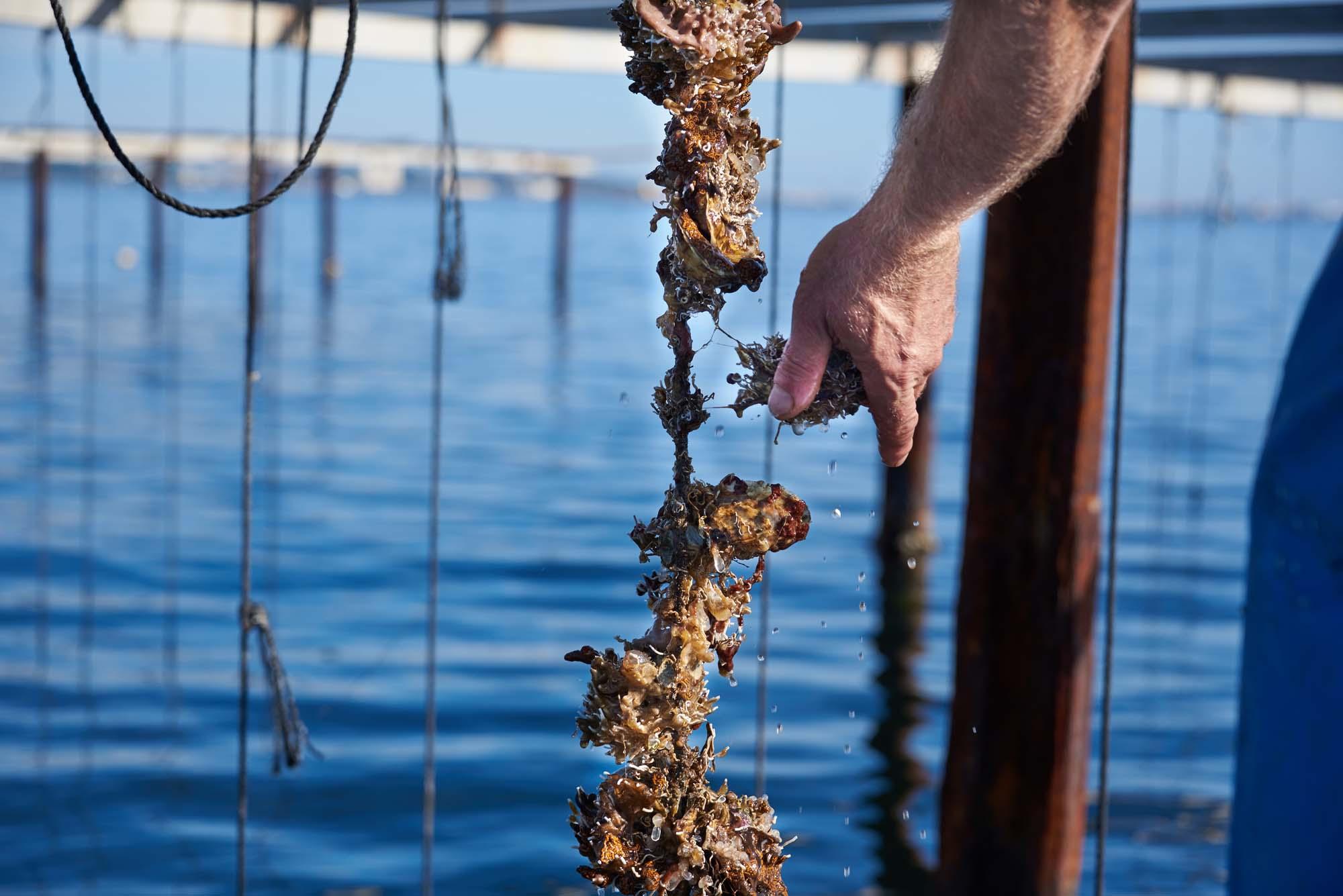 Huîtres sur cordes
