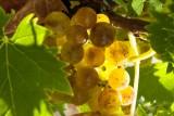 Petits grains muscat de Frontignan